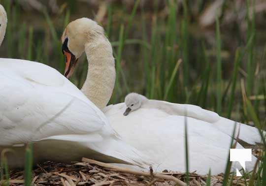 Swans May 22, 20212295