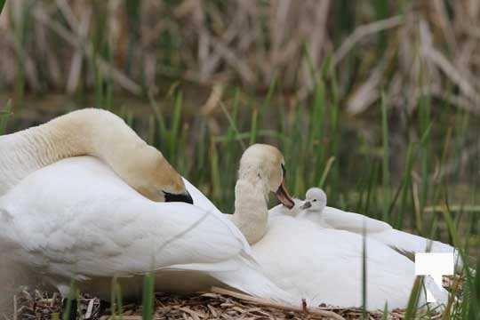 Swans May 22, 20212296