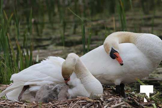 Swans May 22, 20212297