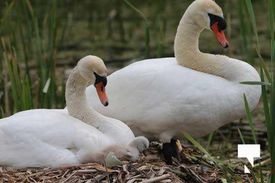 Swans May 22, 20212298