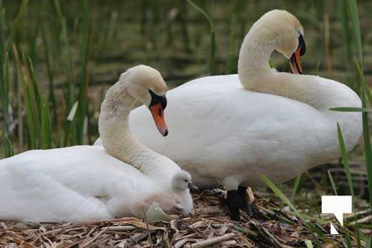Swans May 22, 20212299