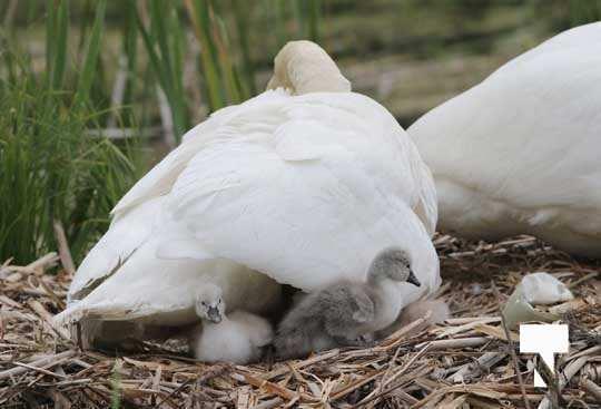 Swans May 22, 20212300