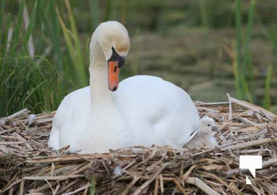 swans baby May 21, 20212256