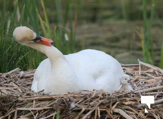 swans baby May 21, 20212257
