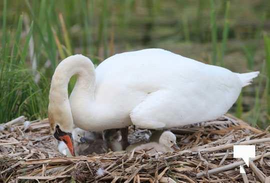 swans baby May 21, 20212259