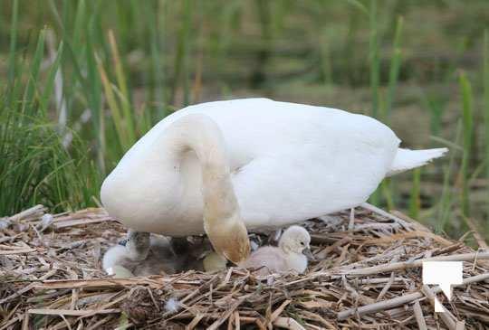 swans baby May 21, 20212260