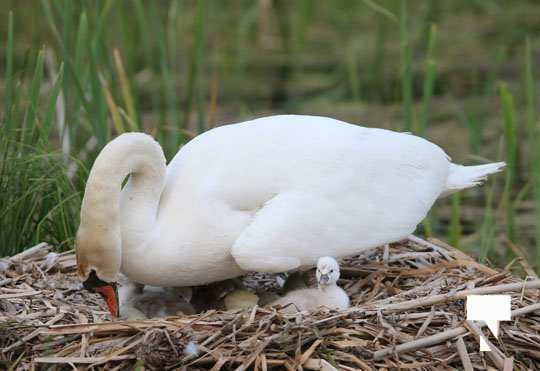 swans baby May 21, 20212261