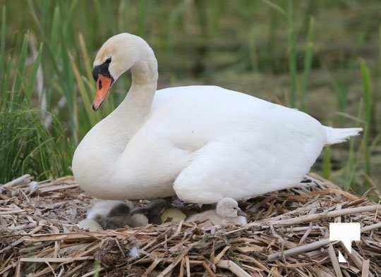 swans baby May 21, 20212262