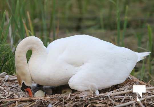 swans baby May 21, 20212263