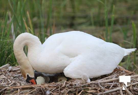 swans baby May 21, 20212264