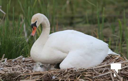 swans baby May 21, 20212266