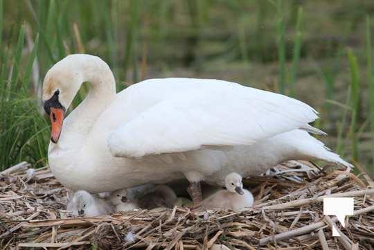 swans baby May 21, 20212267