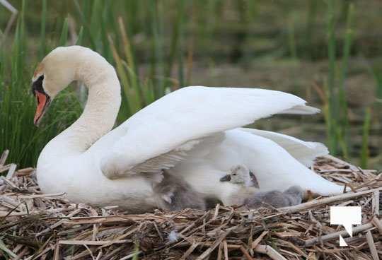 swans baby May 21, 20212268