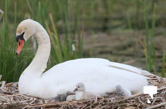 swans baby May 21, 20212269
