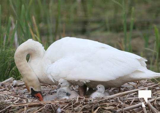 swans baby May 21, 20212271