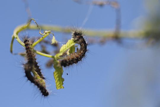 Gypsy Moth June 9, 20212902