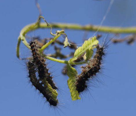 Gypsy Moth June 9, 20212907