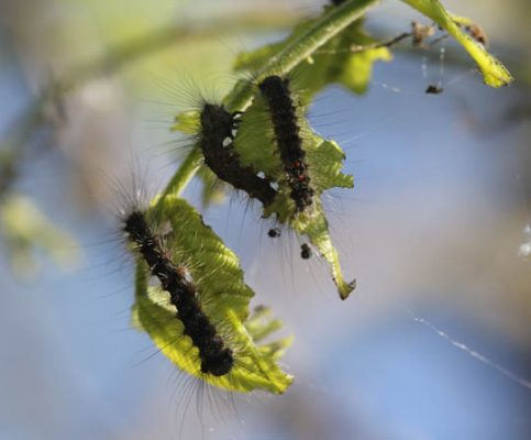 Gypsy Moth June 9, 20212909