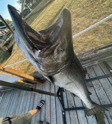 Huge Salmon Cobourg June 23, 20213329