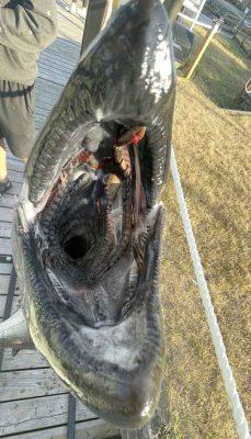 Huge Salmon Cobourg June 23, 20213330
