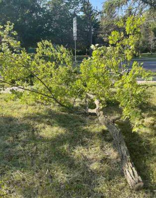 tree limb cobourg June 10, 20212969