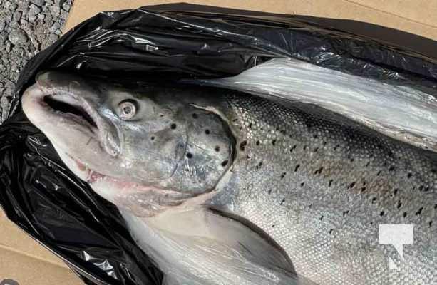Atlantic Salmon September 13, 20210161