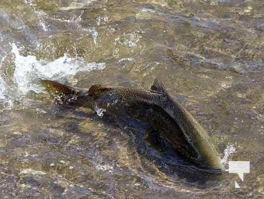 Ganaraska River Salmon September 6, 20210331