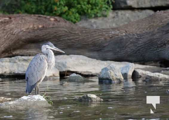 Heron Ganaraska River Port Hope September 9, 20210537