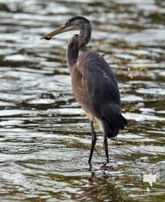Heron Ganaraska River Port Hope September 9, 20210538