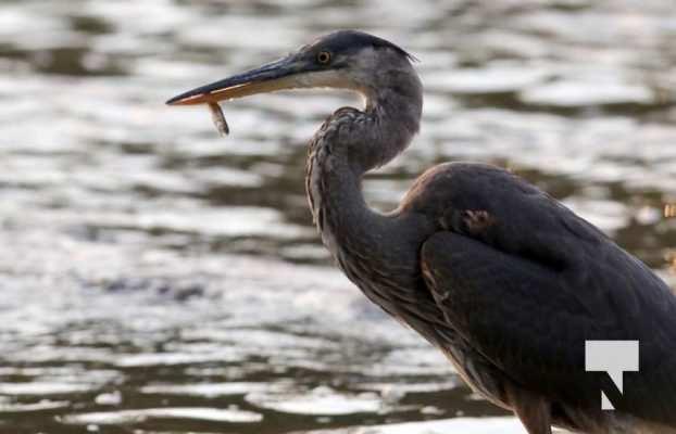 Heron Ganaraska River Port Hope September 9, 20210539