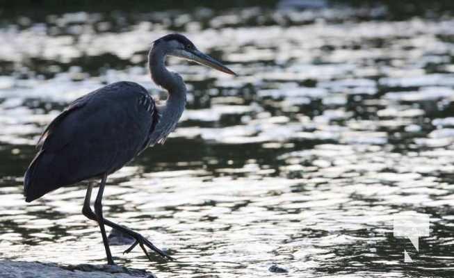 Heron Ganaraska River Port Hope September 9, 20210543