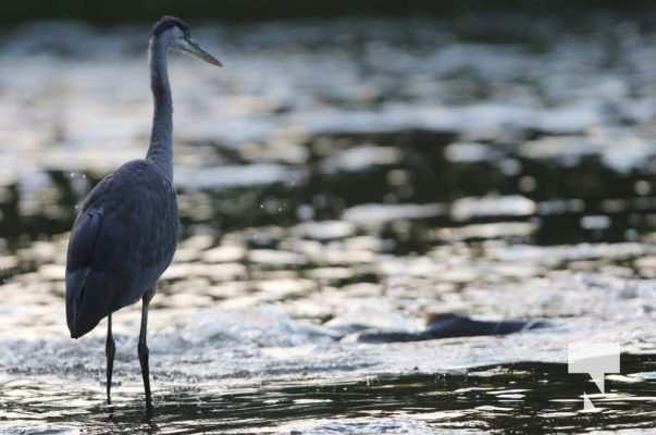 Heron Ganaraska River Port Hope September 9, 20210544