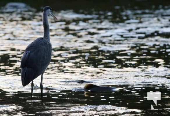 Heron Ganaraska River Port Hope September 9, 20210546