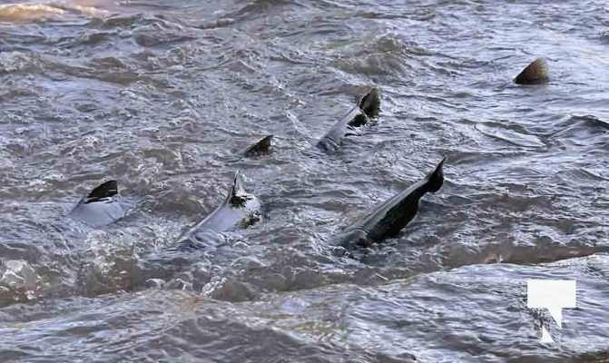 Salmon Fishing Port Hope September 8, 20210509