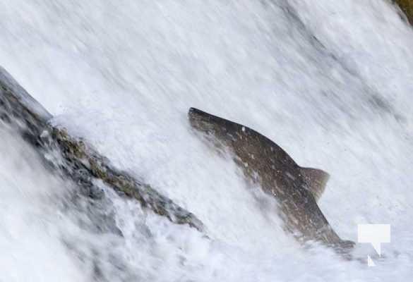 Salmon Ganaraska River Port Hope September 9, 20210549