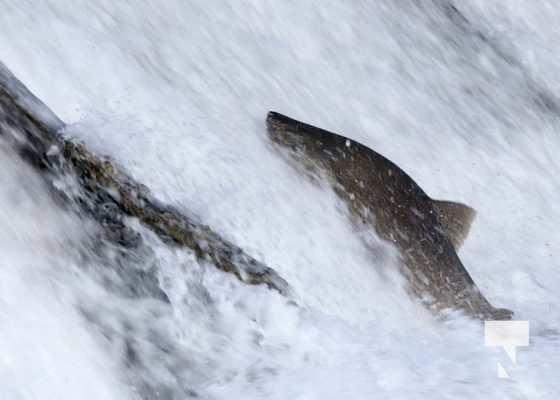 Salmon Ganaraska River Port Hope September 9, 20210550