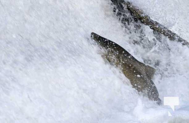 Salmon Ganaraska River Port Hope September 9, 20210552