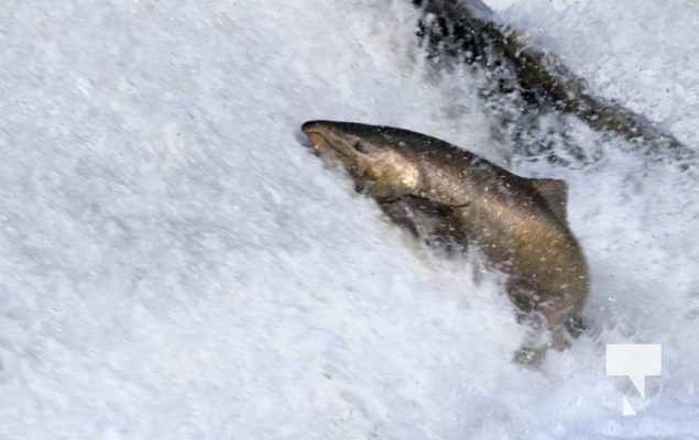 Salmon Ganaraska River Port Hope September 9, 20210553