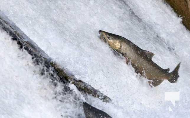 Salmon Ganaraska River Port Hope September 9, 20210554