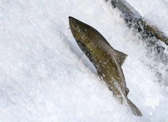 Salmon Ganaraska River Port Hope September 9, 20210556