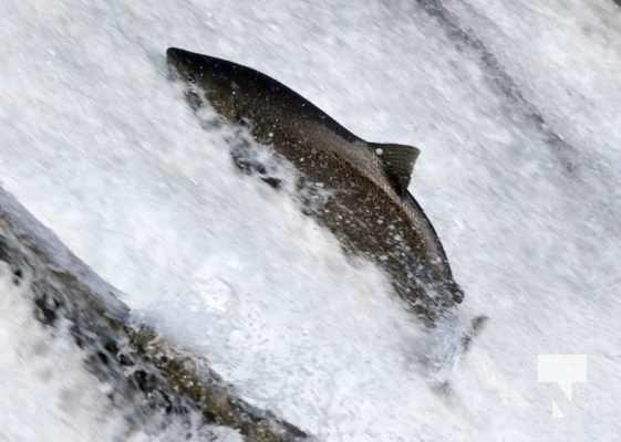 Salmon Ganaraska River Port Hope September 9, 20210557