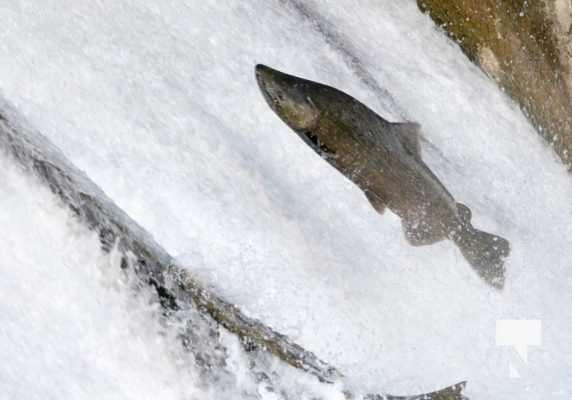 Salmon Ganaraska River Port Hope September 9, 20210558