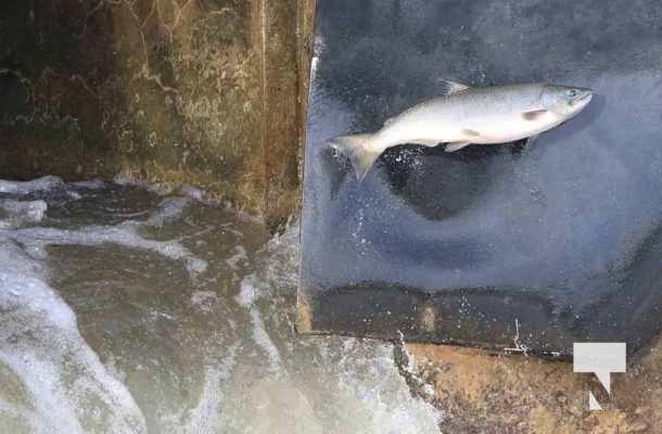 Salmon Ganaraska River Port Hope September 9, 20210559