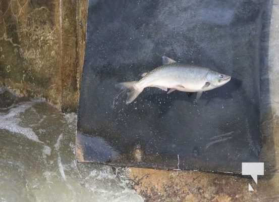Salmon Ganaraska River Port Hope September 9, 20210560