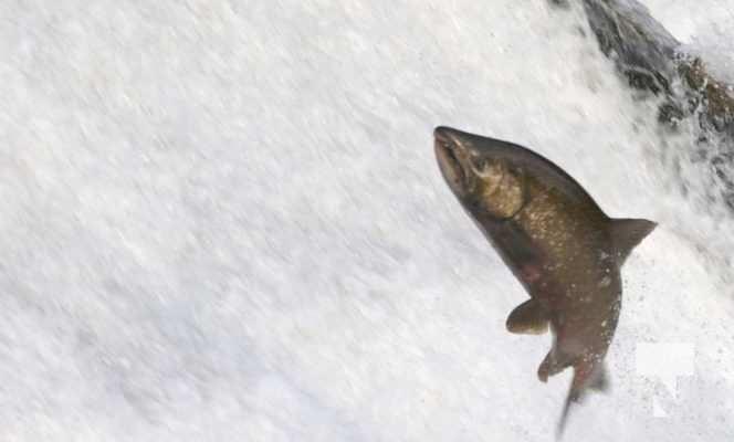 Salmon Ganaraska River Port Hope September 9, 20210561