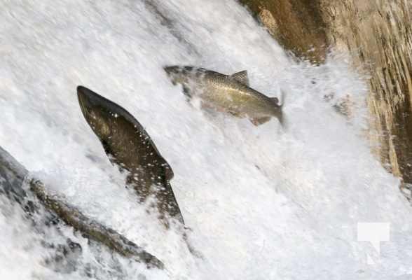 Salmon Ganaraska River Port Hope September 9, 20210562