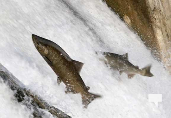 Salmon Ganaraska River Port Hope September 9, 20210563