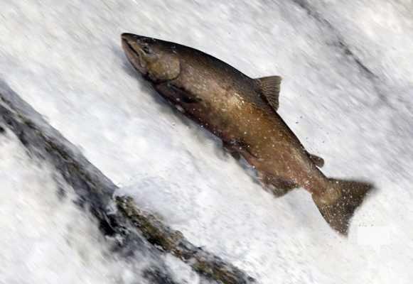 Salmon Ganaraska River Port Hope September 9, 20210564
