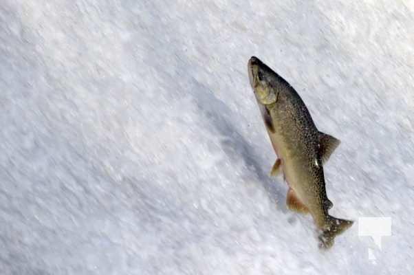 Salmon Ganaraska River Port Hope September 9, 20210565