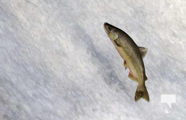 Salmon Ganaraska River Port Hope September 9, 20210566
